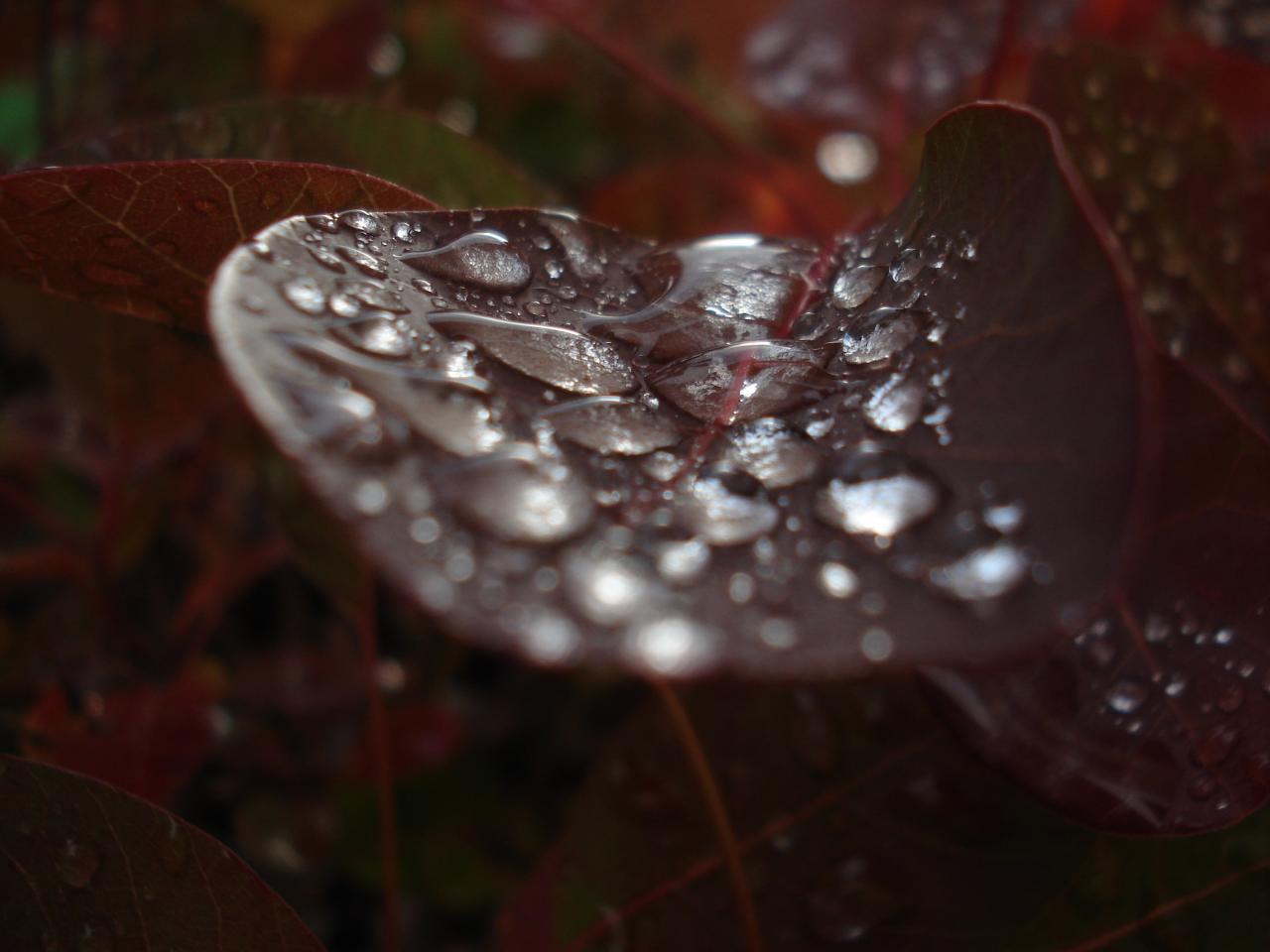 cotinus sous la pluie