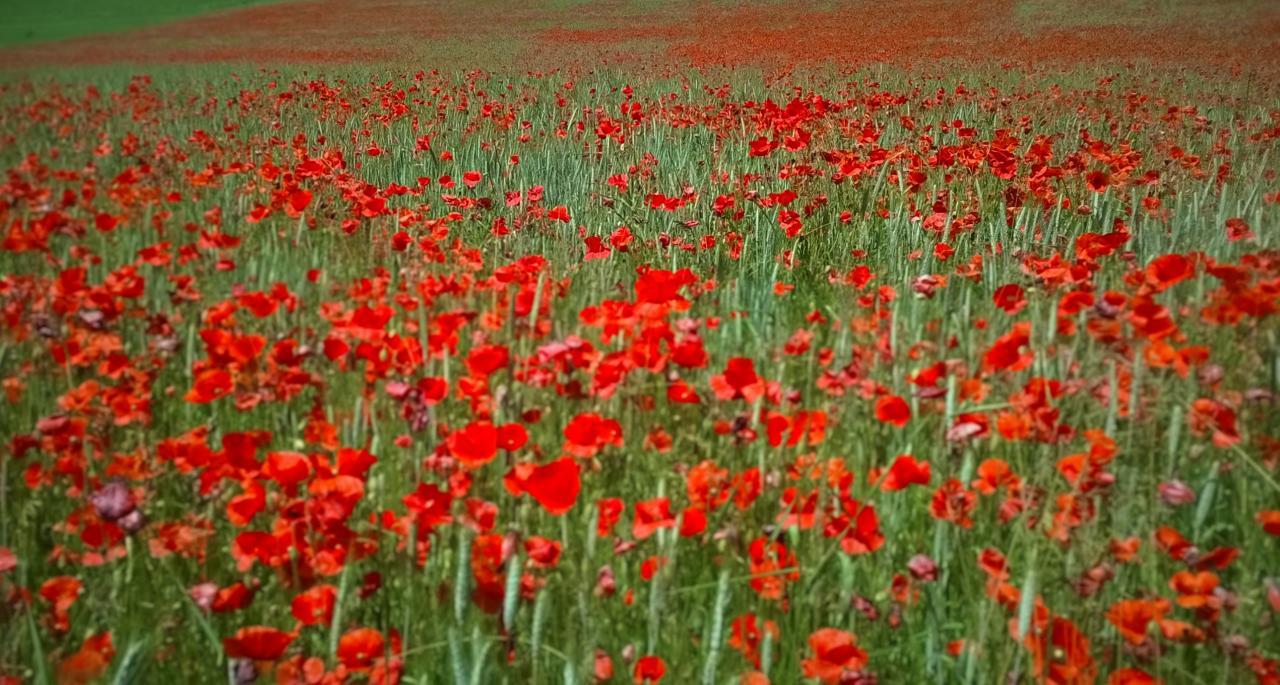 un champ tout rouge