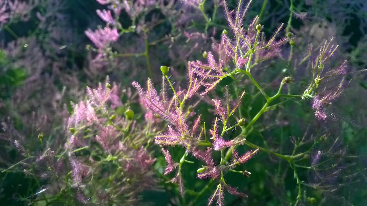 fleur de cotinus